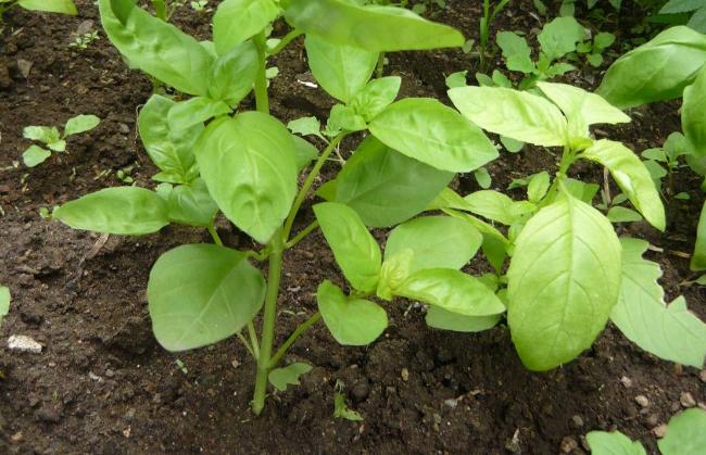 Hortalizas ecológicas